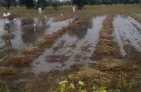 Video: बारिश ने बिगाड़ी किसानों की गणित, गलने की कगार पर फसल