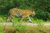 जिन रास्तों से आया था बाघ वहीं से वापिस टाइगर रिजर्व में पहुंचा