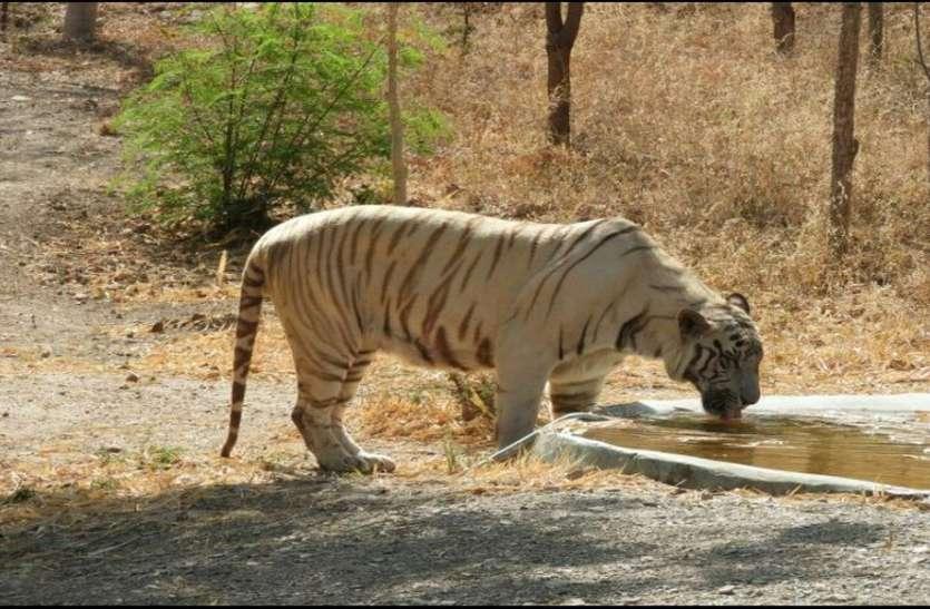 चेन्नई से दो साल पहले लाए सफेद बाघ रामा की उदयपुर में मौत