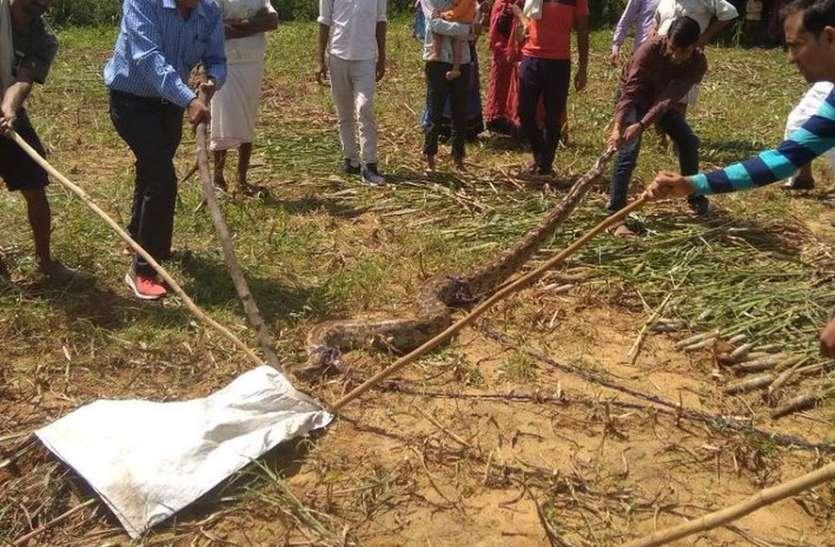राजस्थान के इस गांव में अजगर देख ऐसी फैली दशहत कि ग्रामीणों में मच गई अफरा-तफरी