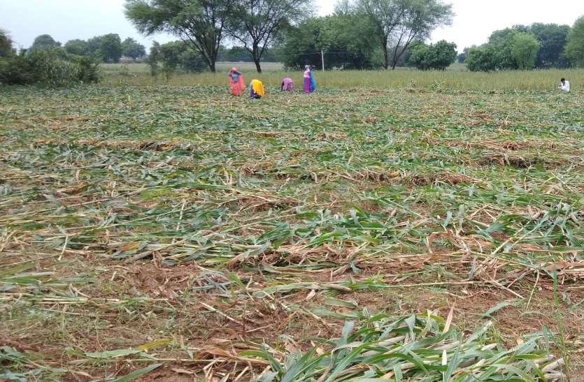 आहत किसानों को मुआवजे के मलहम की दरकार,सपोटरा विधायक ने सीएम को लिखा पत्र