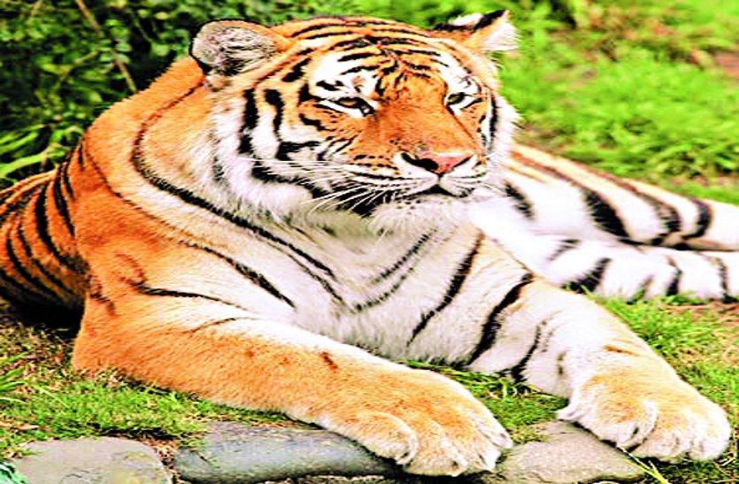 प्रदेश में 4 साल में बढ़ गए 74 से अधिक बाघ