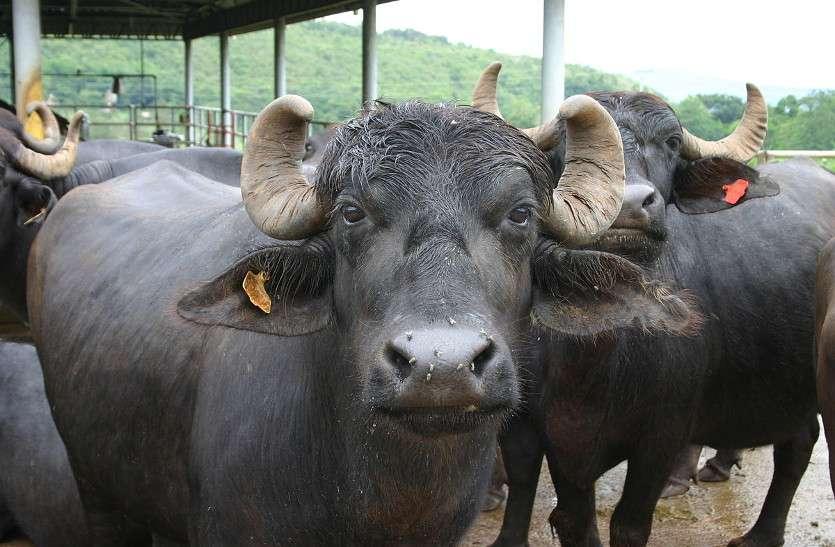 प्रदेश में भैंस पालन प्रमुख पशुपालन व्यवसाय के रुप में उभरा: डॉ. दहिया