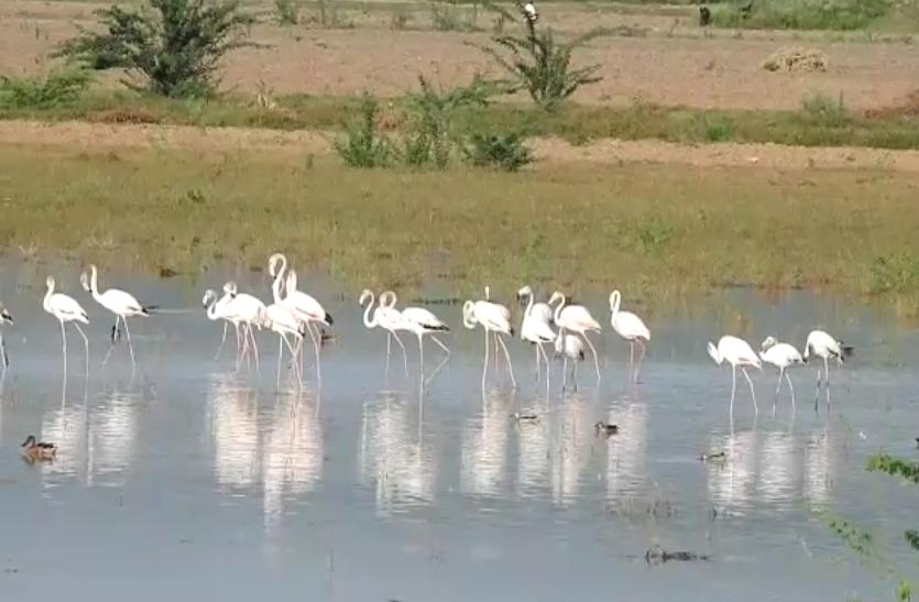 ग्रेटर फ्लेमिंगों पहुंचे राजस्थान में इस जगह, पर्यटकों का लगा तांता..देखे वीडियो..