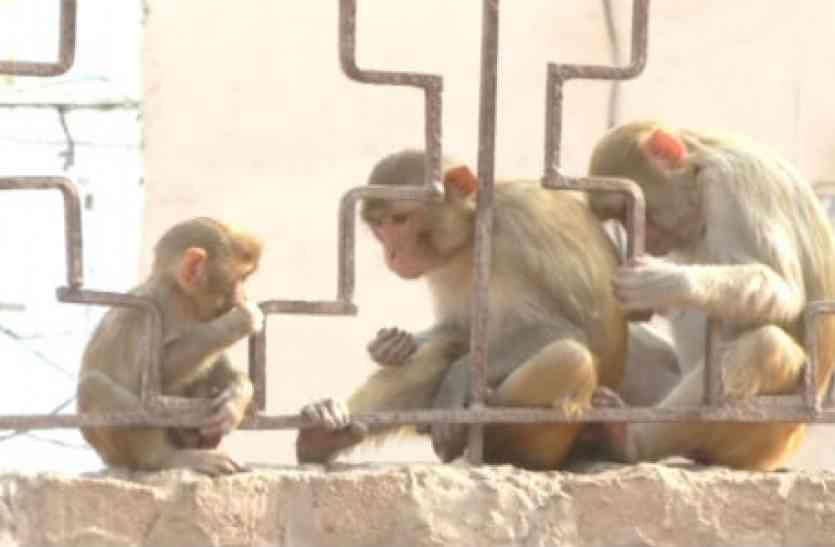 पिछली बार दो हजार, अब एक बंदर पकडऩे पर खर्च होंगे 799 रुपए