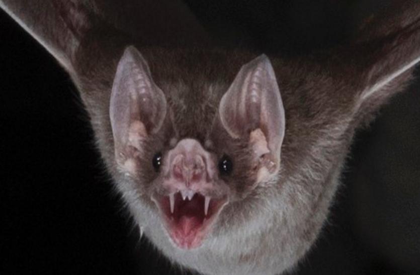 चमगादड़ है जीका वायरस का जानी दुश्मन, एक घंटे में खा सकता है हजार मच्छर