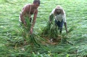 ओडिशा से रुख़सत हुआ तितली पर तोड़ गया किसानों की कमर!...तूफान के कारण हुई बारिश से फसल बर्बाद