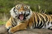 बाघ के माथे पर लिखा कैट, देखने देश विदेश से आ रहे पर्यटक