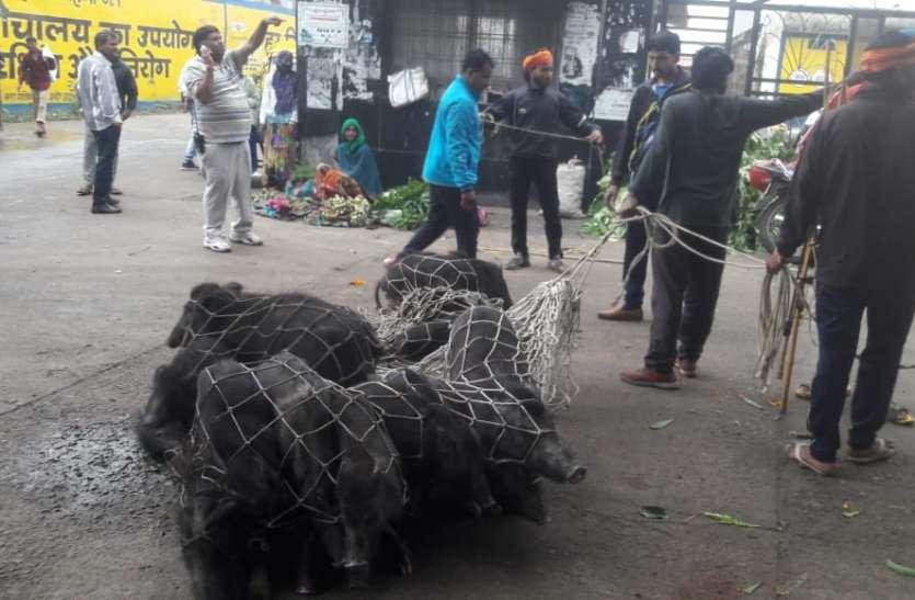 अभियान चलाकर नगर निगम ने पकड़े कुत्ते  और अन्य पशु