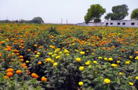 दशहरे पर केसरिया फूलों से गुलजार हुई मुंबई़,दशहरे के लिए बिके पांच करोड़ के गेंदे के फूल