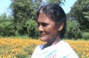 खूंटी:अवैध अफीम की जगह अब गेंदे के फूल की खुशबू से महक रही वादियां