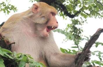 हवन के लिए लकड़ी लेने गए बुजुर्ग की बंदरों ने ईंट मारकर की हत्या, FIR दर्ज करने पर अड़े परिजन