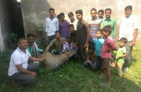 जंगल से भटककर गांव पहुंची नील गाय, ग्रामीणों ने किया ये काम