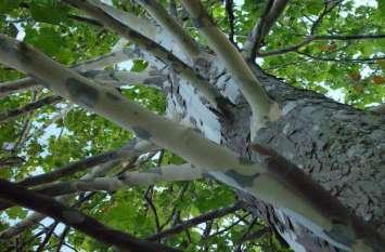 इंसानों जैसा व्यवहार करता है ये पेड़, हरकतें ऐसी कि उड़ जाएंगे होश
