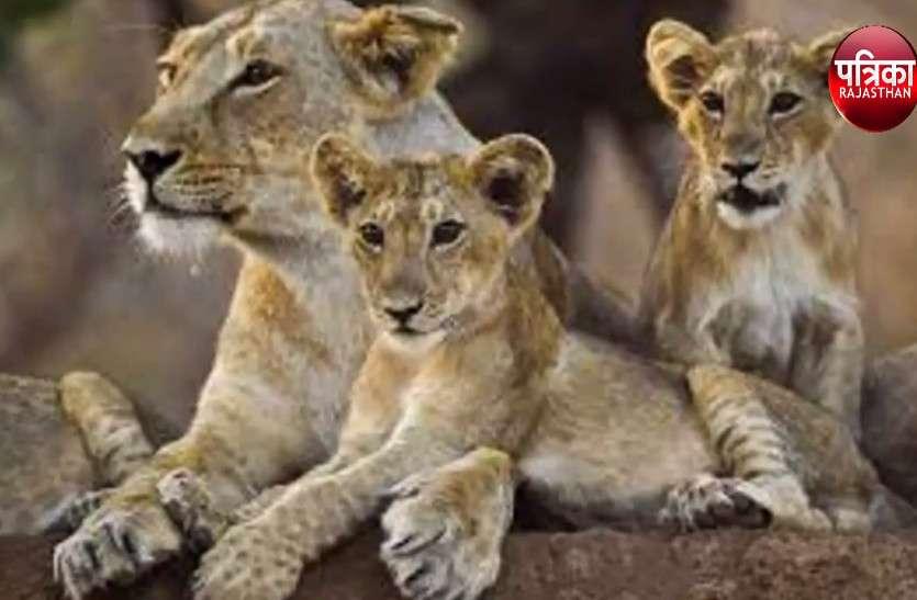 गिर वन में शेरों पर मौत का साया