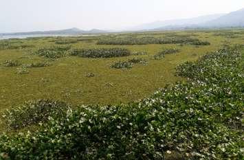 विदेशी खरपतवार ने बढ़ाई सतपुड़ा जलाशय की मुश्किलें, नहीं सचेत हुए तो सूख जाएगा तालाब
