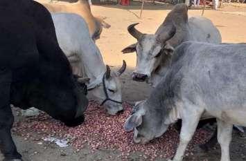 फिर प्याज ने किसानों को रूलाया, 1 रुपए किलो में बिका तो मवेशियों के हवाले कर गए...