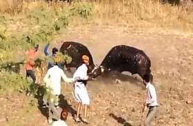 राजस्थान में यहां गोवर्धन पूजा के बाद आयोजित हुई पाड़ो की लड़ाई, देखने उमड़ा जन सैलाब