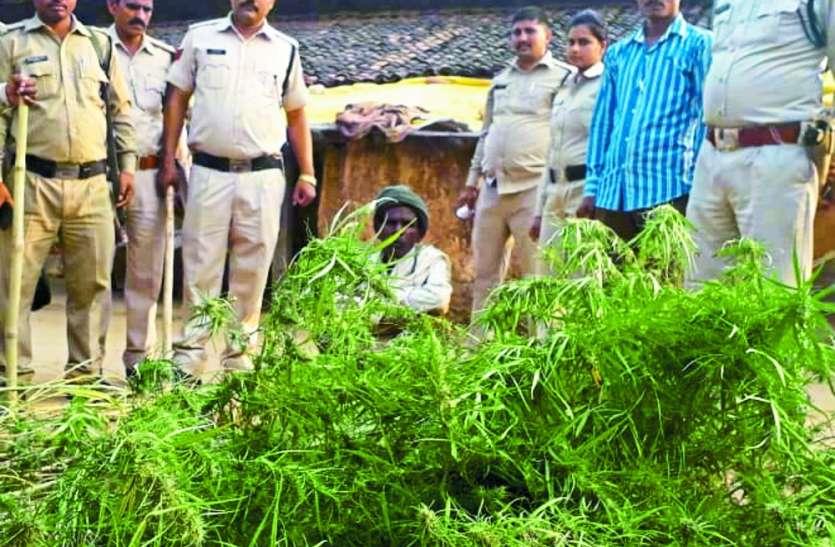 चहली गांव का मामला :सब्जी की आड़ में हो रही थी गांजा की खेती, आरोपी धराया