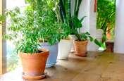 घरों में ये पौधे लगाकर शोभा के साथ-साथ प्रदूषणमुक्त वातावरण पाइए