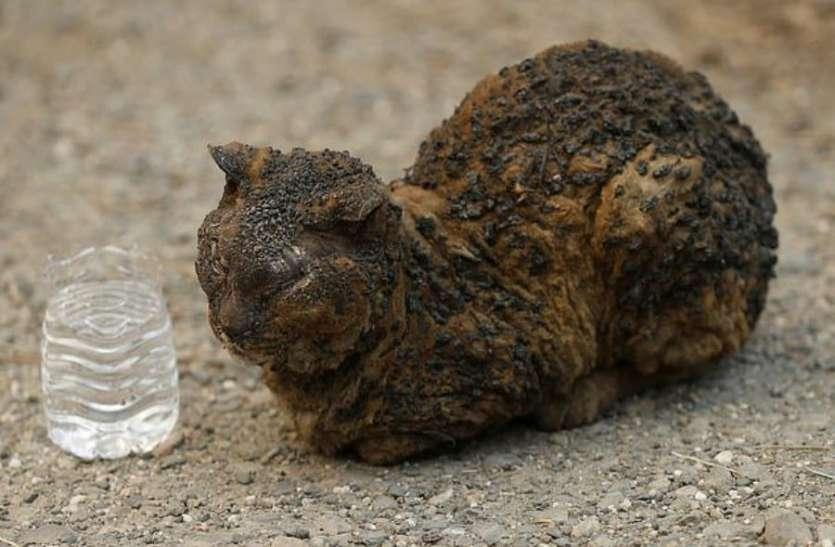 कैलिफॉर्निया की आग में पूरी तरह से जल चुकी बिल्ली को देख रो पड़ेगी आपकी रूह, पूरी दुनिया में वायरल हुई तस्वीर