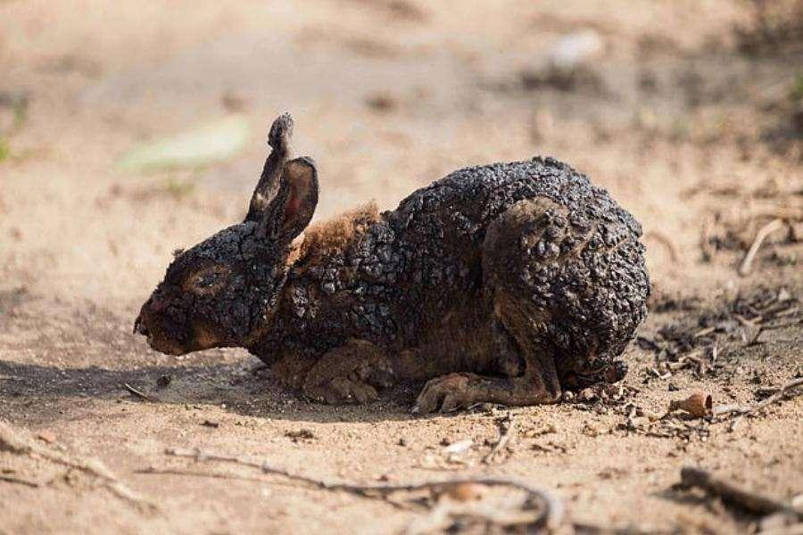 burned rabbit