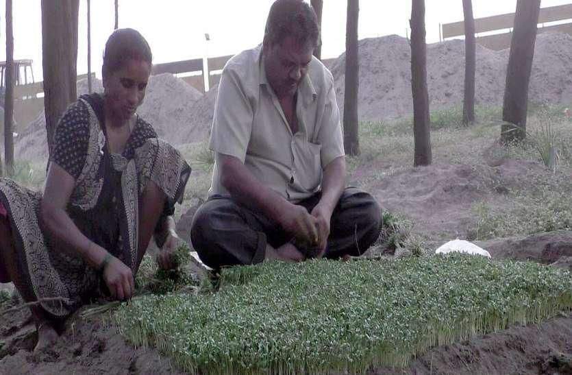समुद्र किनारे खारी जमीन पर उगा रहे हरी मैथी