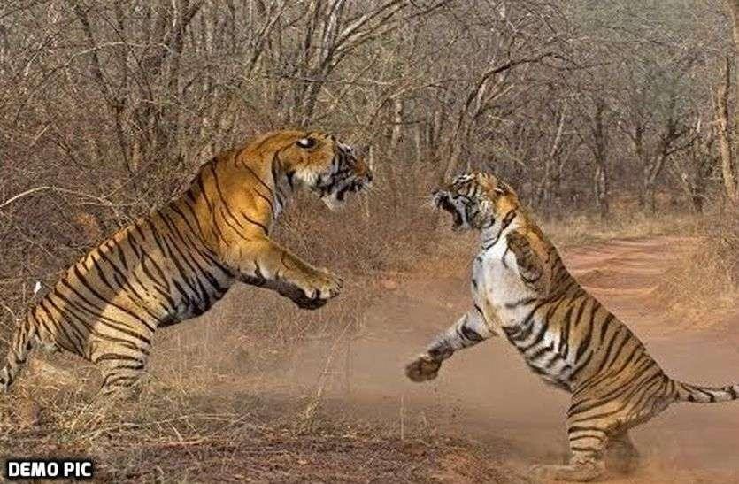 Sariska Tigers Fight : सरिस्का के इन दो बाघों के बीच फिर हुआ संघर्ष, दो साल में इतने बार भिड़ चुके हैं ये दोनों बाघ