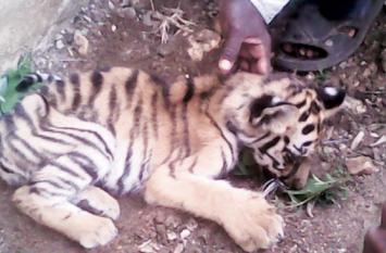 महाराष्ट्र में ट्रेन की चपेट में आकर मारे गए दो बाघ शावक