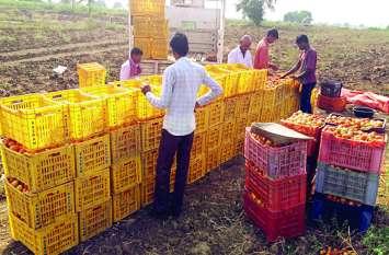 टमाटर की खेती से उकताए किसान चुनाव में सरकार से मांग रहे अपनी बेबसी का जवाब