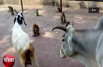 योगी राज में मंशा देवी मंदिर में जानवरों ने जमाया डेरा, भक्त में दहशत का माहौल