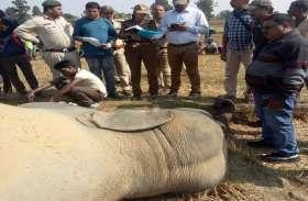 गन्ने की फसल खा रही हथिनी पलभर में हो गई ढेर, शव देख हाथियों ने लगाई चिंघाड़ तो थर्रा उठा इलाका
