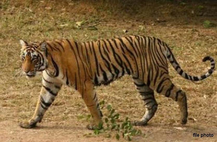 मध्यप्रदेश के बाघ महावीर की मौत के बाद अब बाघिन सुंदरी हुई घायल