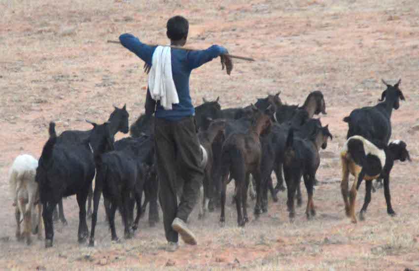 हर रोज तेंदुआ की खुराक बन रहीं ग्रामीणों की पालतू बकरियां