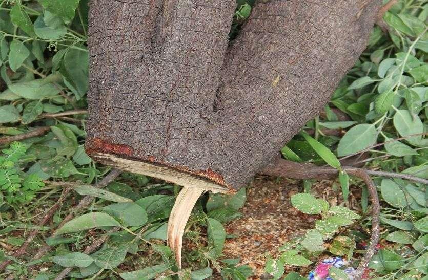 गुलाबबाग : एक माह में कटे चंदन के 15 पेड़, जिम्मेदार बने बेपरवाह...