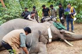 20 इंसानों की जान ले चुके दंतैल हाथी को बेहोश करने में लगे 3 दिन, देहरादून और तमिलनाडु से बुलाए गए थे विशेषज्ञ