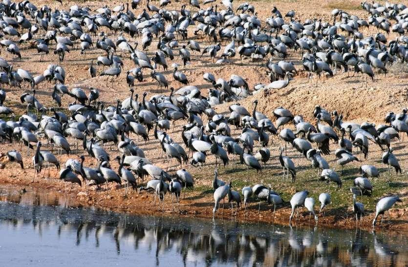 प्रवासी पक्षियों को रास आ रहा बीकाणा