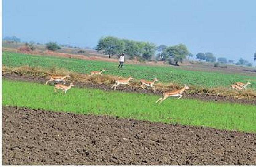 हिरणों व अन्य जीवों की धमाचौकड़ी से चौपट हो रहीं फसलें