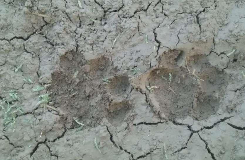 पन्ना जिले में बाघ की दहशत से डरे लोग