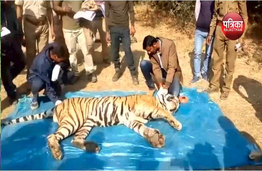 तस्करों और सिकुड़ते जंगलो के बीच जिंदगी की जंग हारते बाघ,सरिस्का में बाघ एसटी-4 की मौत, इस वर्ष सरिस्का ने खोया तीसरा बाघ : देखें वीडियो