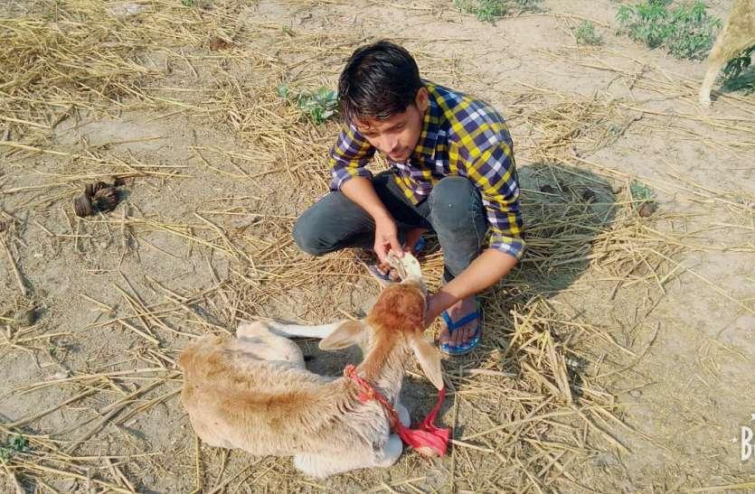 बुलंदशहर हिंसा के बाद पढ़िए जाहिद हुसैन की ये खबर, पढ़ाई छोड़ कर रहा गाय माता की सेवा