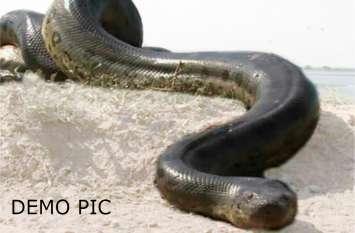 बलिया में निकला एनाकोंडा जितना बड़ा सांप, दो लोगों को पूरा निगल सकता है