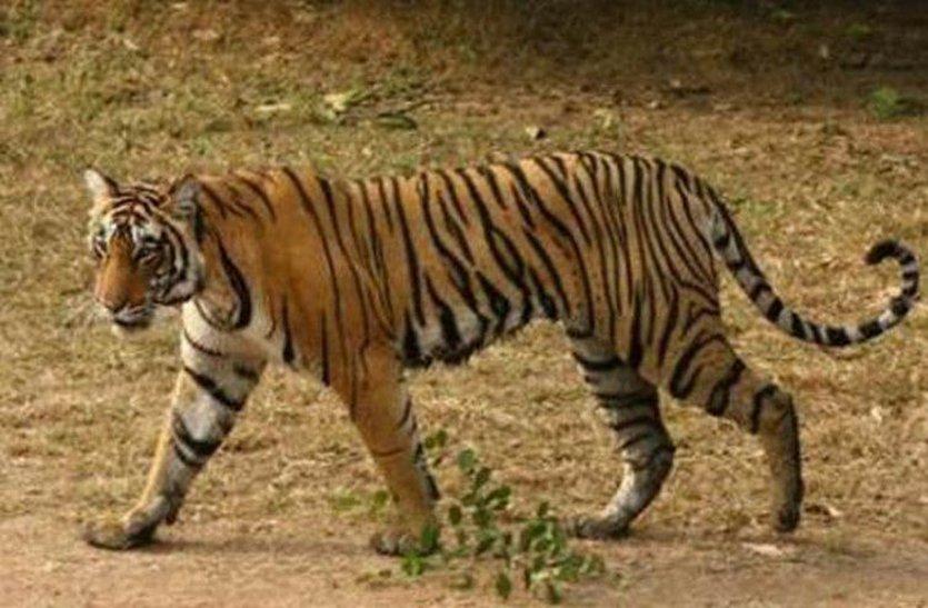 बाघों की सुरक्षा के लिए बनेगी नई रेंज, अमला भी नियुक्त करेंगे