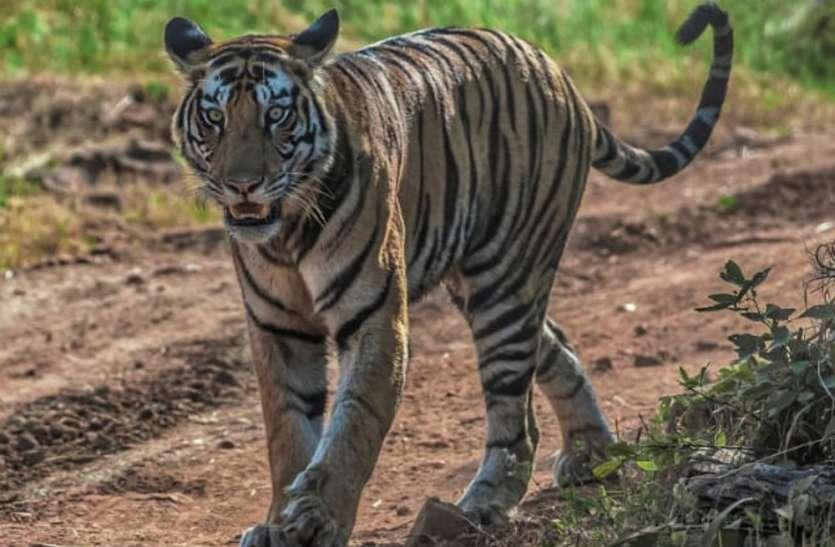 खेत की रखवाली कर रहे किसानों का जब बाघ से हुआ सामना