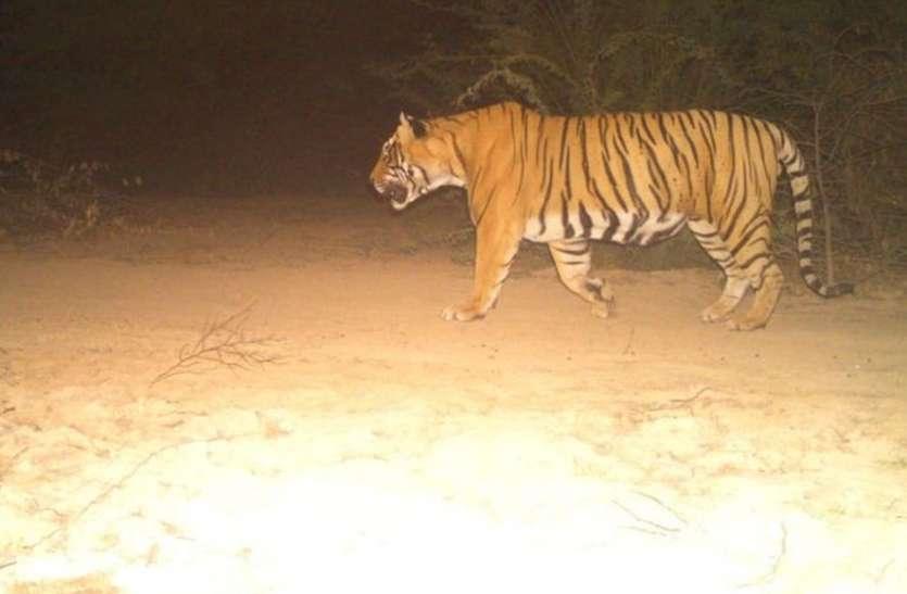 राजस्थान के इस जंगल में सुल्तान जमा रहा है अपनी सल्तनत