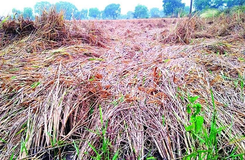 अचानक मौसम में बदलाव फिर मूसलाधार बारिश से फसल को नुकसान, किसानों की बढ़ी चिंता
