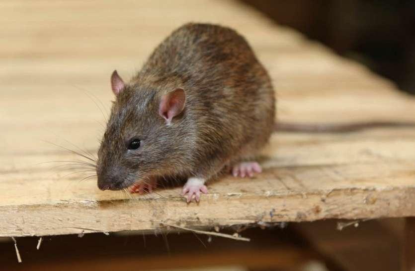 80 रुपये में इस तरह घर से भगाएं चूहे, मारने कर भी जरूरत नहीं