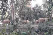 विशेषज्ञ बोले- हाथी की जगह हथिनी को कॉलरिंग करने से मिलता है ज्यादा फायदा, ये है वजह
