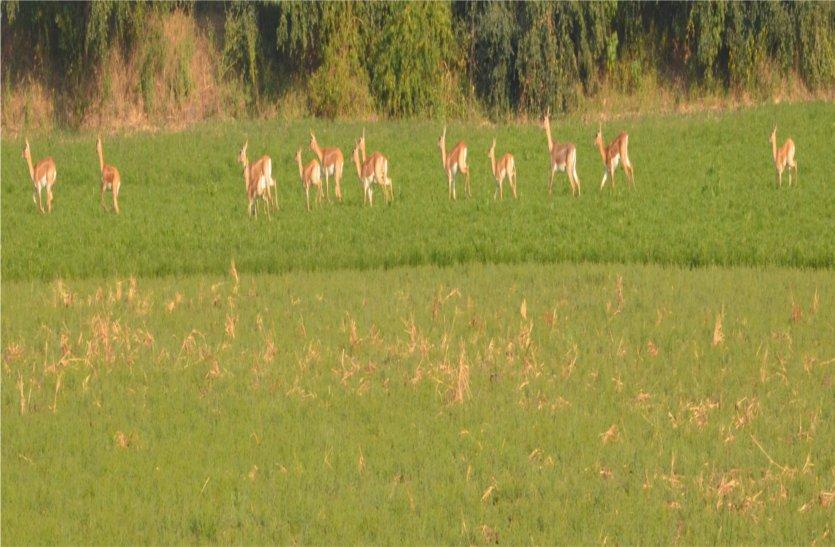 फसल को चौपट कर रहे जंगली जानवर, किसान हो रहे परेशान