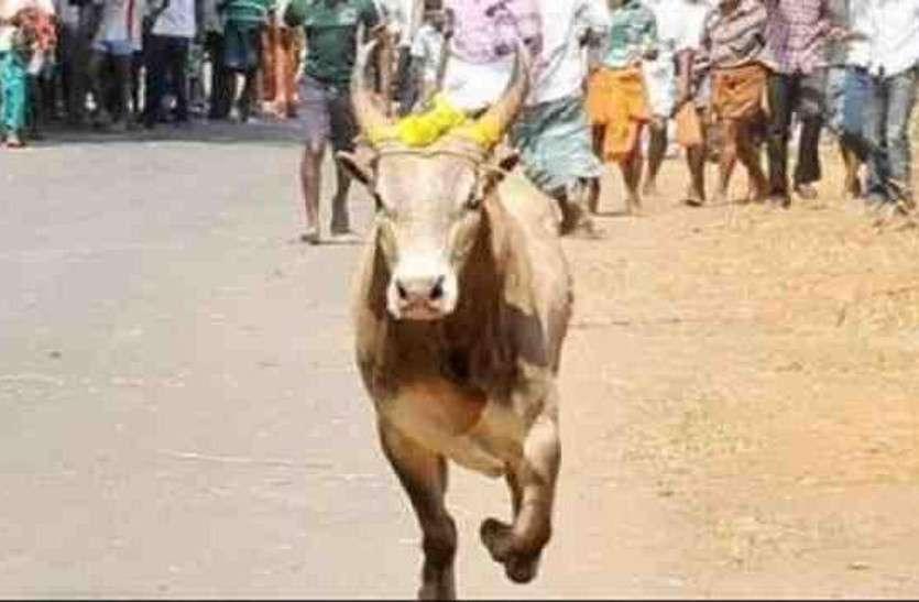 VIDEO : वीडियो में देखिए उदयपुर में महिला पर्यटक को किस तरह से सड़क पर गाय ने रौंदा...